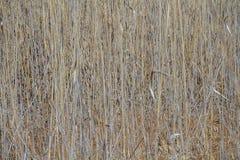 干燥芦苇图象为与拷贝空间的背景使用 库存图片