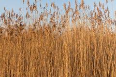 干燥芦苇在一个冬日 库存图片