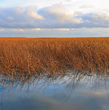 干燥芦苇的密集的丛林 免版税库存图片