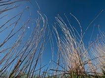 干燥芦苇草和深蓝天 免版税库存图片