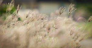 干燥芦苇草花 免版税图库摄影