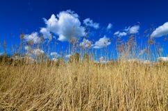 干燥芦苇草 图库摄影