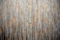 干燥芦苇 免版税图库摄影