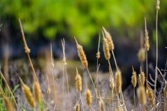 干燥花在叫作ibiza的西班牙海岛发现了 库存照片