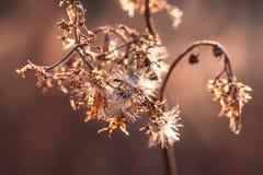 干燥花宏观照片在日落的阳光下 干花叶子 库存图片