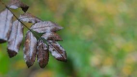 干燥花揪叶子在秋天 股票录像