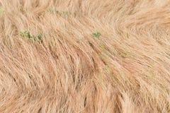 干燥金草在一个夏日 免版税库存照片