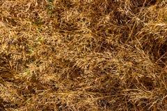 干燥金黄棕色下落的领域草 库存照片