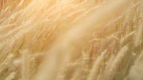干燥针茅在阳光下在摇摆在风的夏天晚上 棋 股票录像