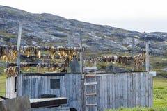 干燥鱼在格陵兰 库存图片