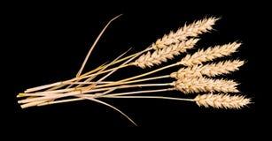 干燥麦子耳朵美丽的花束  普通小麦 免版税图库摄影