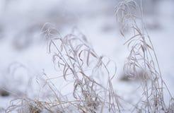 干燥黄色草的耳朵在霜的在冬天多雪的天 图库摄影