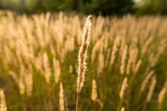 干燥黄色草露天 库存照片
