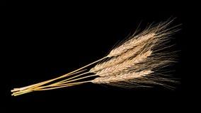 干燥黑麦耳朵装饰花束  Secale cereale 免版税库存图片