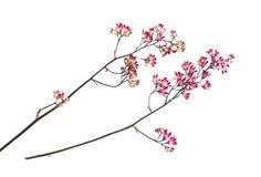 干燥,被按的桃红色小康乃馨在分支illustrat开花 库存图片