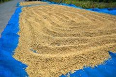 干燥稻 库存照片