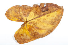 干燥Anthirium叶子在黄色和布朗秋天树荫下  免版税图库摄影