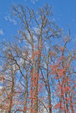 干燥mapple树森林 免版税图库摄影