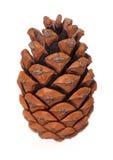 干燥pinecone 免版税库存照片