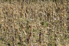 干玉米偷偷靠近背景 免版税图库摄影