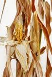 干玉米和茎 库存图片