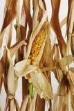 干玉米和茎 免版税库存照片
