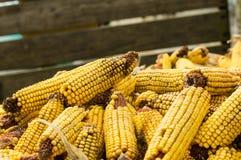 干玉米或玉米的耳朵 免版税库存图片