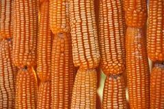 干玉米捆绑一起 库存照片
