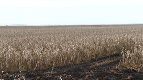 干玉米的一个大领域偷偷靠近,秋天风景,无边的浩瀚 股票录像