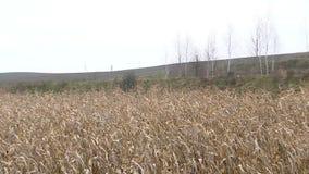 干玉米的一个大领域偷偷靠近,秋天风景,无边的浩瀚3 影视素材