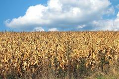 干玉米的领域 免版税库存照片