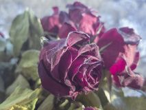 干玫瑰室外在日落期间在冬天 免版税库存照片