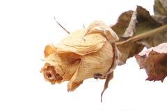 干玫瑰白色 库存照片