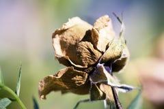干玫瑰色特写镜头 库存照片