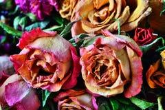 干玫瑰芽 免版税图库摄影