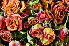干玫瑰芽 库存图片