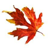 干秋天叶子槭树 库存图片
