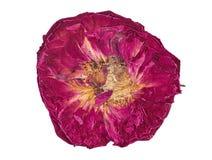 干红色玫瑰关闭  免版税库存图片
