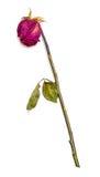 干红色玫瑰 免版税库存照片