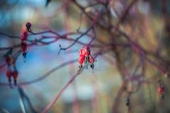 干红色野玫瑰果在早期的春天 免版税库存照片