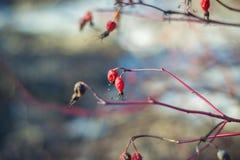 干红色野玫瑰果在早期的春天 免版税库存图片