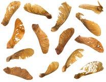 干美国梧桐槭树种子用有翼的自然果子荚在b 库存图片