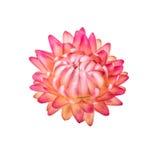 干花 在白色隔绝的一朵桃红色永恒秸杆花 图库摄影
