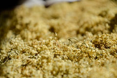 干芳香接骨木浆果(接骨木花)茶的,烘干新鲜的elderflowers 免版税库存图片
