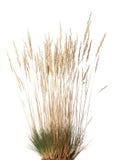 干草丛与panicle的 免版税库存照片