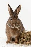 干草兔子 库存照片