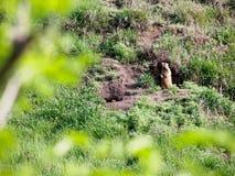 干草原土拨鼠在山站立在貂皮附近 图库摄影