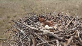 干草原在地面的老鹰巢 影视素材