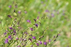 干草原的开花的植物 库存图片