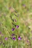 干草原的开花的植物 库存照片